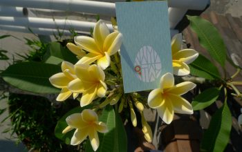Frangipani - The Ubiquitous Naturalized Beauty in Bali